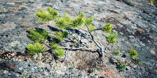 一棵年轻杉树紧贴对石表面 免版税库存图片