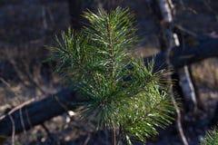 一棵年轻杉树 冷杉分支 云杉的背景 具球果森林棵子植物家庭  库存照片