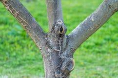 一棵年轻果子苹果树的分支在庭院里 免版税库存照片