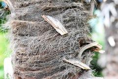一棵年轻棕榈树的树干-抽象背景 免版税库存图片