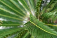 一棵年轻棕榈树的绿色叶子 免版税库存照片