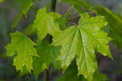 一棵年轻槭树的水多的绿色叶子在雨以后的 库存图片