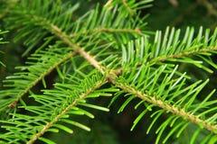 一棵年轻毛皮树的绿色分支 库存照片