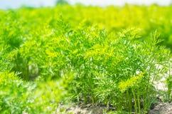 一棵年轻红萝卜在土壤特写镜头增长 种田,环境友好的农产品,戒毒所,新鲜蔬菜,素食食物 免版税库存图片
