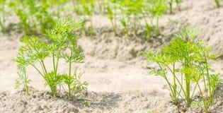一棵年轻红萝卜在土壤特写镜头增长 种田,环境友好的农产品,戒毒所,新鲜蔬菜,素食食物 库存图片