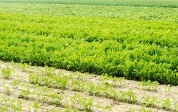 一棵年轻红萝卜在土壤特写镜头增长 种田,环境友好的农产品,戒毒所,新鲜蔬菜,素食食物 免版税库存照片