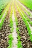 一棵年轻红萝卜在土壤特写镜头增长 种田,环境友好的农产品,戒毒所,新鲜蔬菜,素食食物 图库摄影