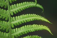 一棵年轻美丽的绿色蕨的灌木在春天阳光特写镜头柔和的光芒的  库存图片