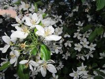 一棵年轻苹果树的分支 库存照片