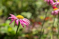 一棵庭院春黄菊的花在一个晴天 库存照片
