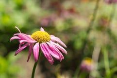 一棵庭院春黄菊的花在庭院里 免版税库存图片
