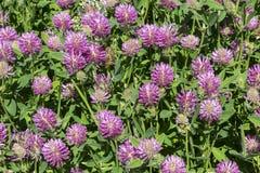 一棵开花的三叶草的丛林 免版税库存照片