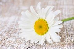 一棵开花的春黄菊 免版税库存照片