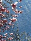一棵开花的木兰树的分支与被日光照射了浅粉红色的花的在一个晴朗的春日 免版税库存照片