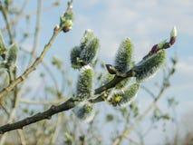 一棵开花的杨柳的分支在清早 库存图片