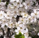 一棵开花的树的分支 库存照片