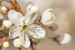 一棵开花的樱桃树的分支与美丽的白花的 浅深度的域 库存照片