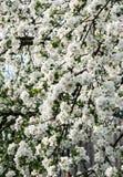 一棵开花的樱桃树的分支 免版税库存图片