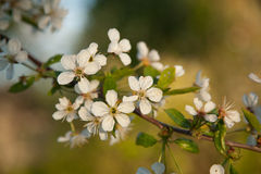 一棵开花的樱桃树的分支 库存照片