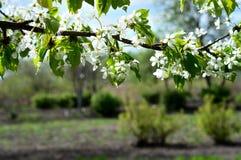 一棵开花的樱桃的美好的分支在庭院里 库存照片