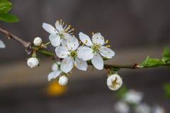 一棵开花的樱桃 库存图片