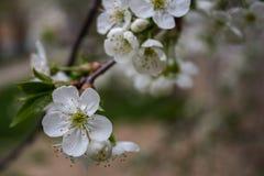 一棵开花的樱桃 免版税库存照片