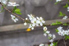 一棵开花的樱桃 免版税库存图片