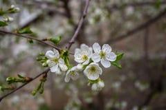 一棵开花的樱桃 库存照片