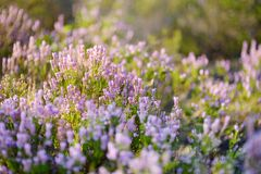 一棵开花的石南花植物的细节立陶宛风景的 库存图片