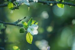 一棵开花的苹果树的分支与精美白花的在清早太阳的光芒在庭院里 库存图片