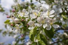 一棵开花的苹果树的分支反对蓝天的 库存照片