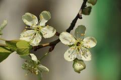 一棵开花的苹果树的分支在庭院里 免版税库存图片