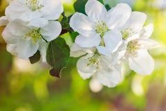 一棵开花的苹果树的分支在春天庭院里 免版税库存图片