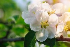 一棵开花的苹果树的分支在春天庭院里 库存图片