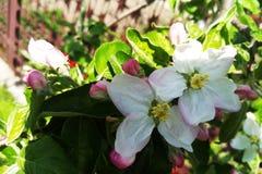 一棵开花的苹果树的分支在春天或夏天 图库摄影