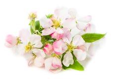 一棵开花的苹果树的分支在白色背景的,关闭u 免版税库存图片