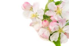 一棵开花的苹果树的分支在白色背景的,关闭u 库存照片