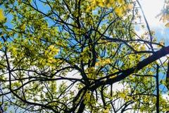 一棵开花的苹果树的分支在蓝天背景的 免版税库存图片