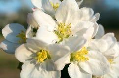 一棵开花的苹果树的分支在蓝天背景的 库存照片