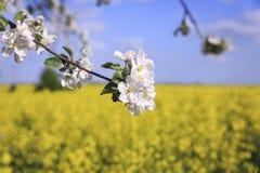 一棵开花的苹果树的分支以明亮的黄色强奸为背景的调遣 免版税库存照片