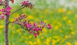 一棵开花的苹果树的分支 库存图片