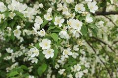 一棵开花的苹果树的分支 库存照片