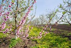 一棵开花的苹果树的图象在果树园,春天题材 库存照片