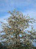 一棵开花的苹果树的照片 免版税库存图片