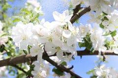 一棵开花的苹果树的看法通过一个湿窗口,多雨天气 免版税库存图片