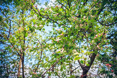 一棵开花的苹果树的被遣散的白花 库存照片