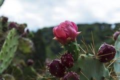 一棵开花的阔叶烟草的四季不断的仙人掌植物的桃红色花 免版税库存照片