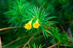 一棵开花的水仙细节在前景和绿色背景的 免版税库存图片