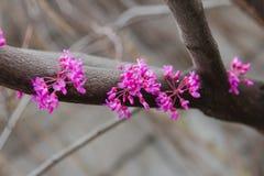 一棵开花的Judah树的分支 库存照片