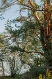 一棵弯曲的杉树 库存照片